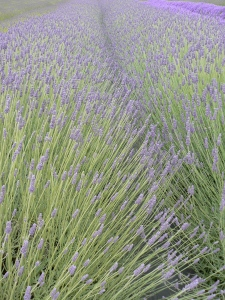 Sequim lavender one