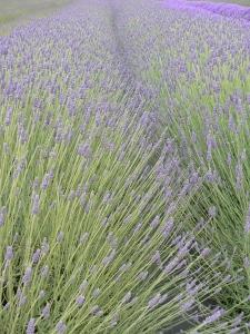 Sequim lavender one
